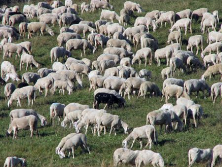 sheep in flocks grazing in the mountains and a black sheep